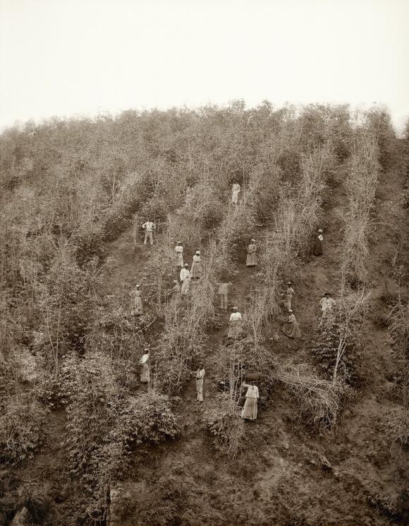 Escravos-na-colheita-de-café-Vale-do-Paraíba-1882-Marc-Ferrez_Colección-Gilberto-Ferrez_Acervo-Instituto-Moreira-Salles