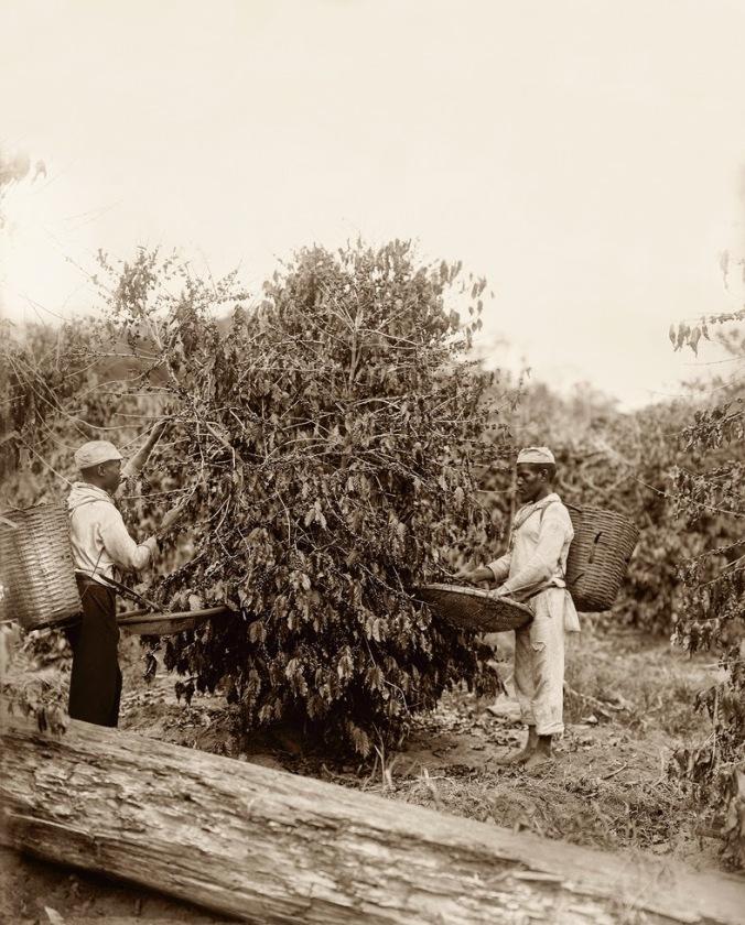 Escravos-na-colheita-do-café-Rio-de-Janeiro-1882-Marc-Ferrez_Acervo-Instituto-Moreira-Salles
